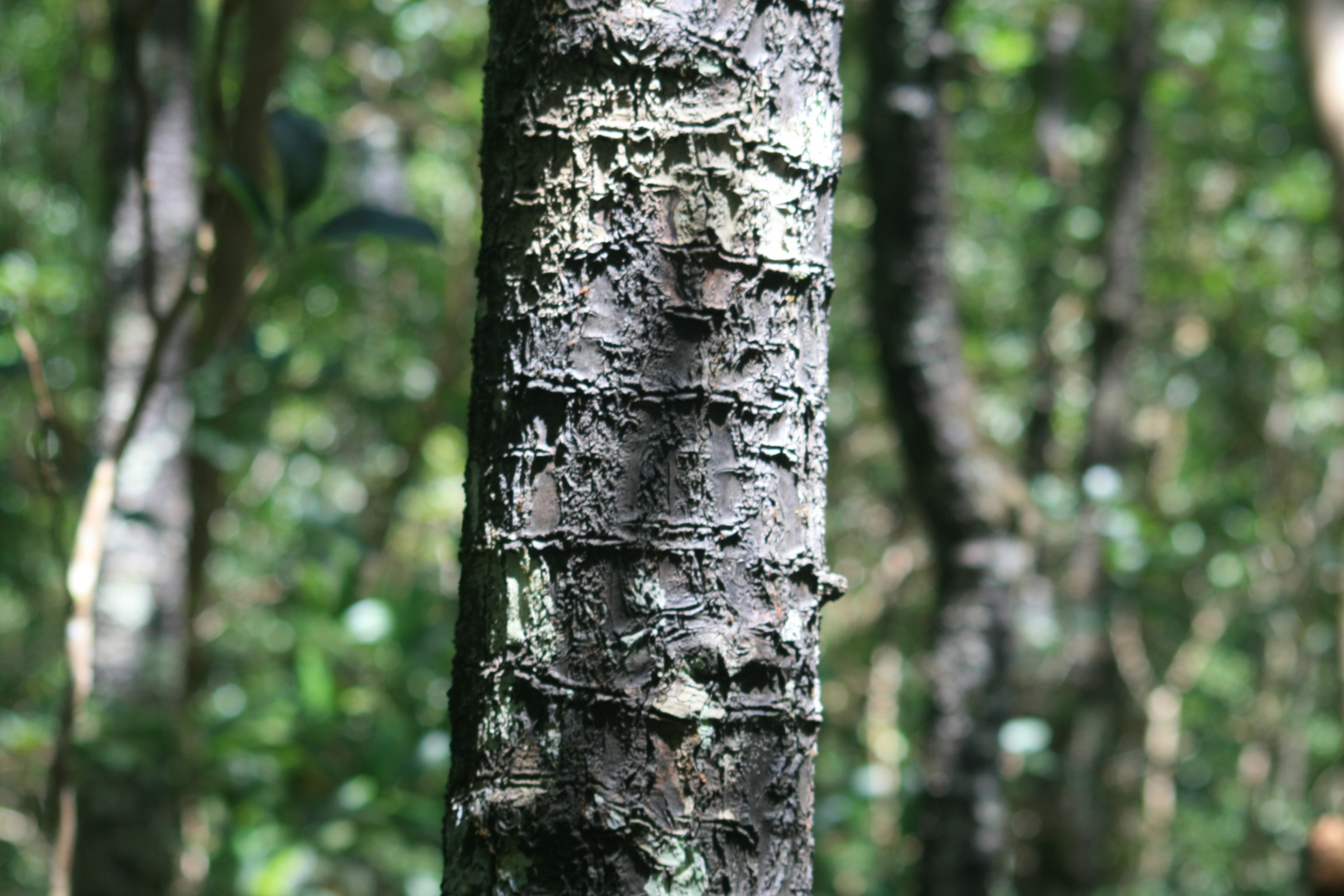 Slender tree with rick markings on bark is foregrounded and other trees out of focus in background