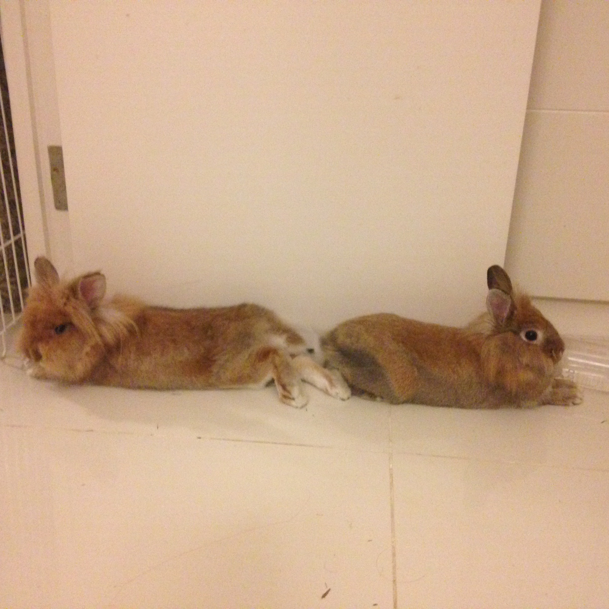Two brown bunnies lying together but facing in opposite directions. They are watching and alert while saving their energies.