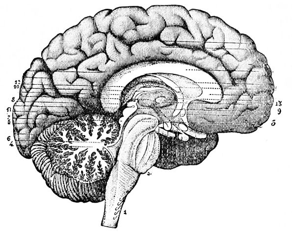 Sketch of human brain split laterally.