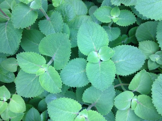A patch of mint leaves.