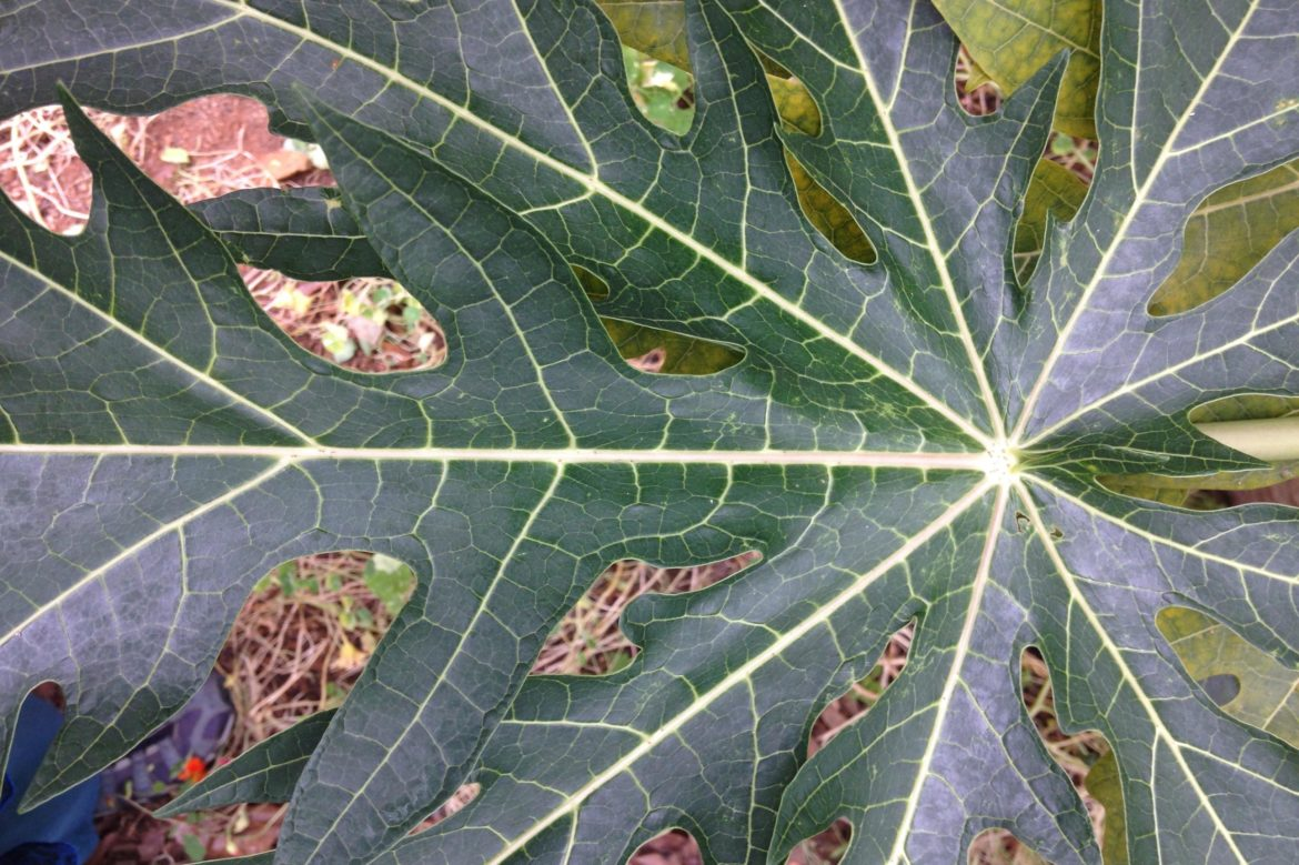 Large leaf with veins in a 'star' pattern.