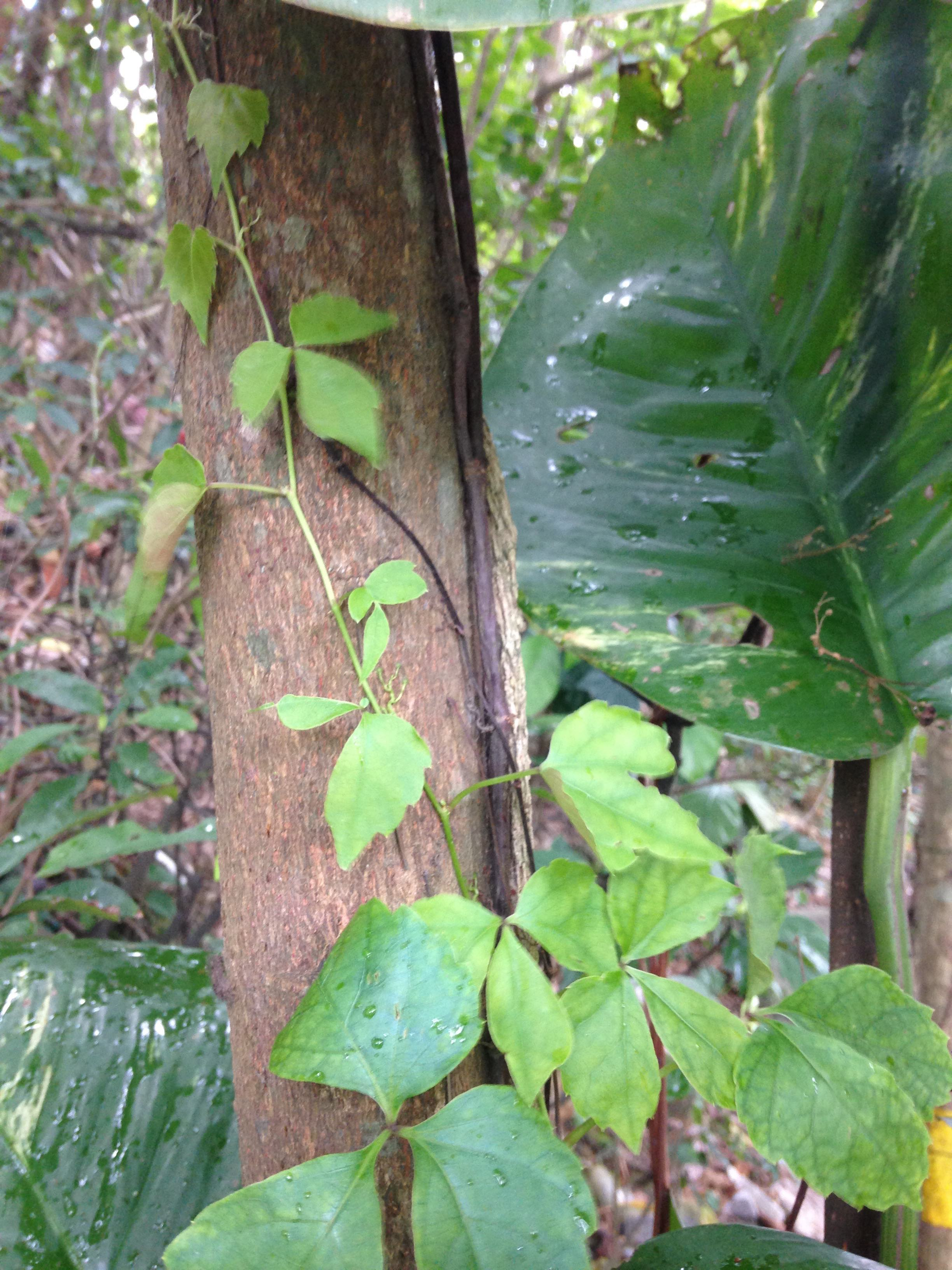 Vine grows up a tree.