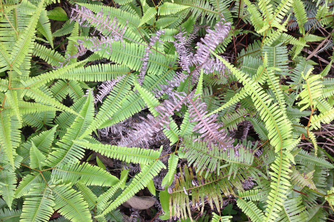 A fern, some parts are fresh green, others brown and dry.