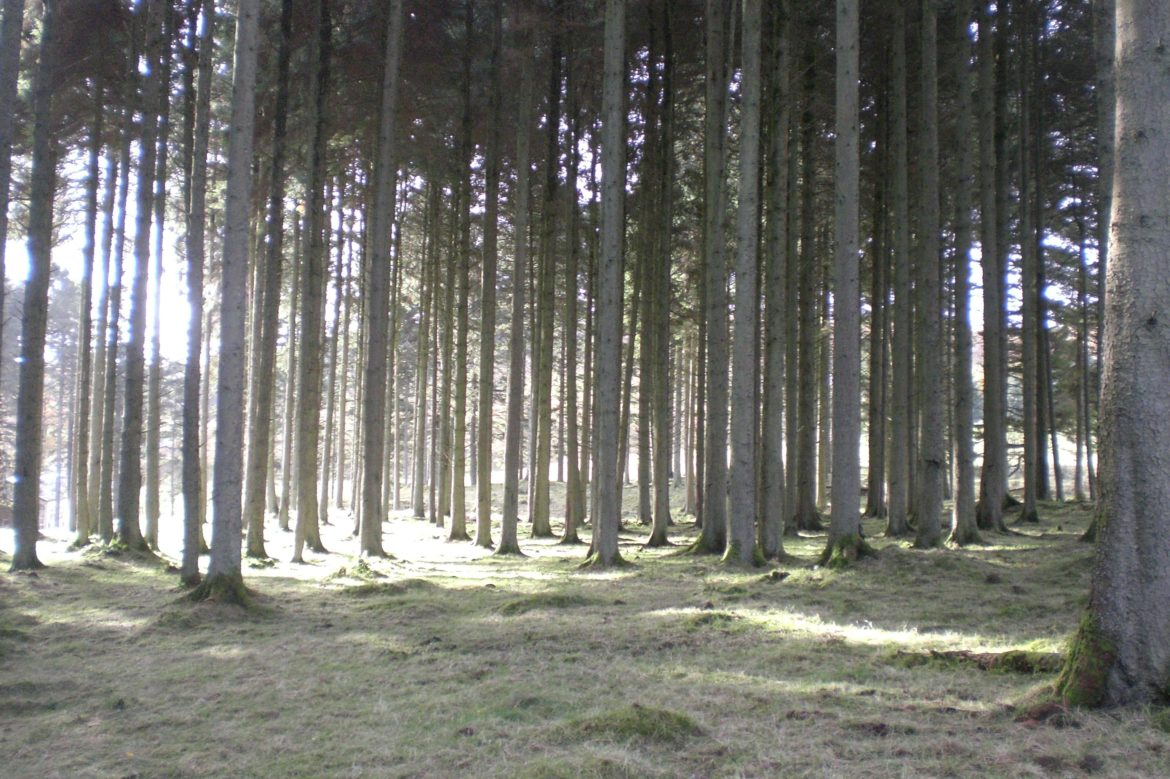Evergreen trees in winter with a low sun.