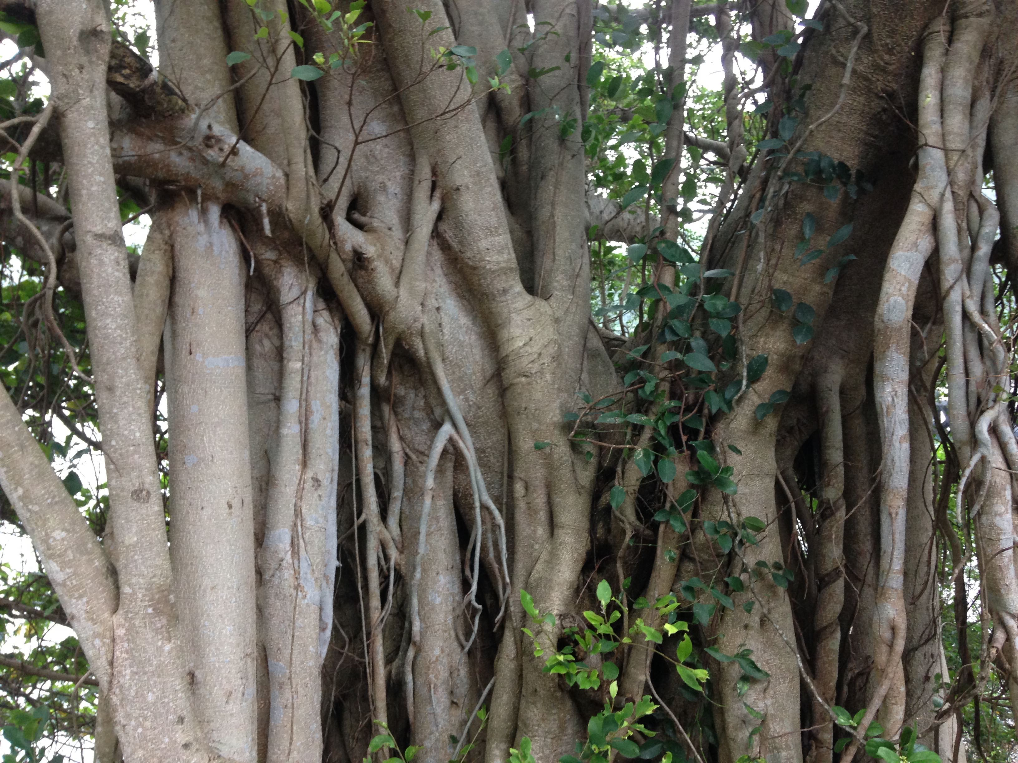 Banyan tree branches