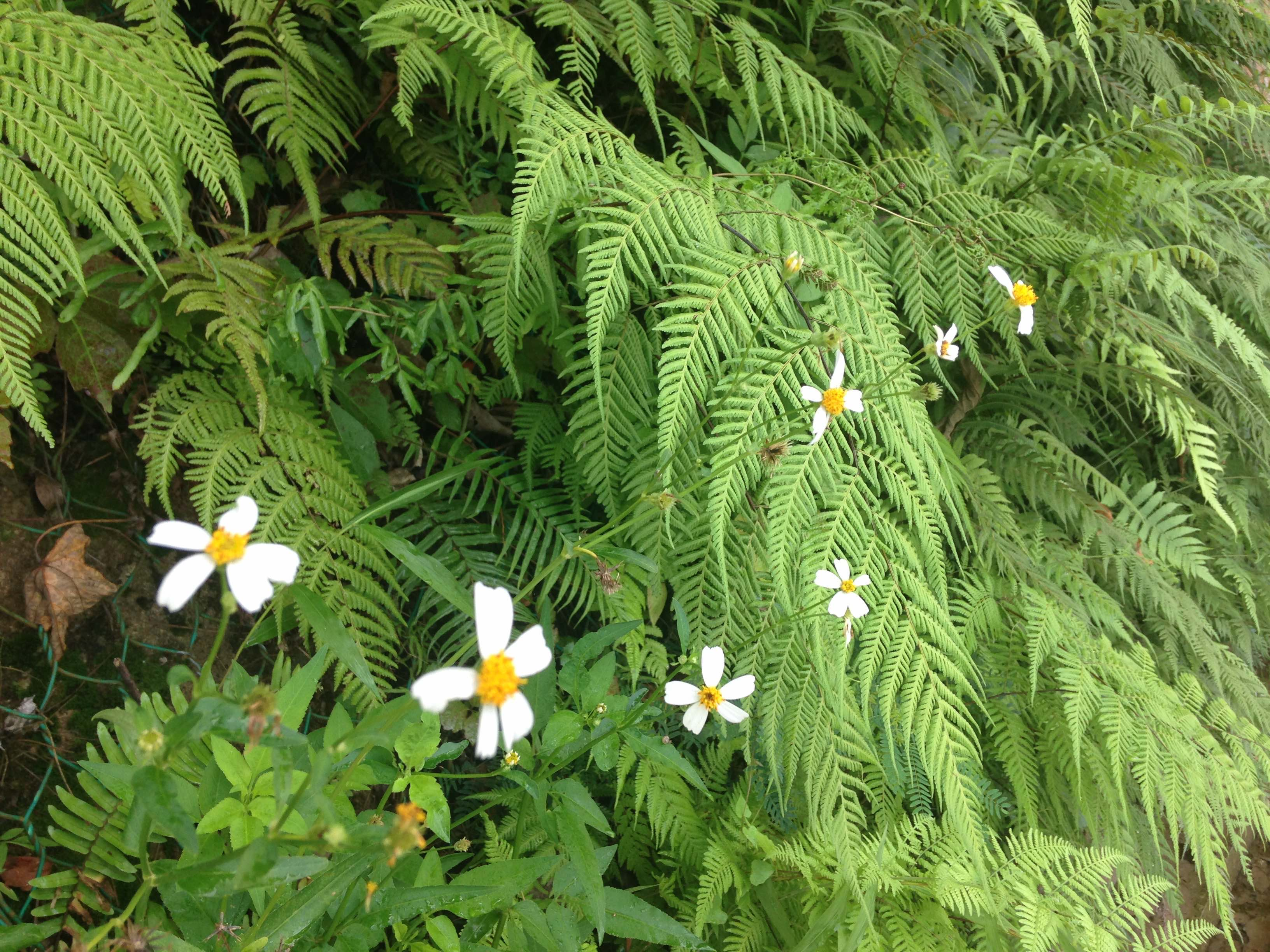 Daisies and ferns.